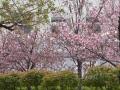 Kirschblüte 1.JPG