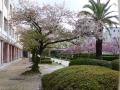 Kirschblüte 2.JPG
